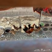 دجاج للبيع بيشه الحميمه