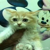 قطه شيرازي انثي