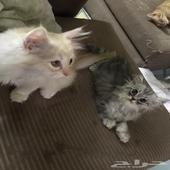 قطط صغيرة وف قط كبير شيرازي بيرشن
