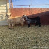 خروف و تيس