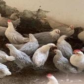 دجاج فيومي المنيوم توب التوب