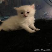 قطط صغيرة للبيع