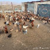 دجاج بلادي بياض