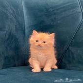 قطط - نوعها شيرازي  الجنس