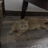 قطه استراليه للبيع حامل