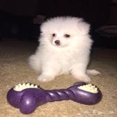بومرينيان Pomeranian