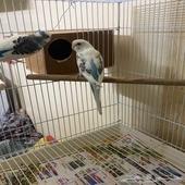 زوجين طيور حب الموقع صفوى