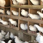 75 جوز حمام لاحم سوبر جامبووو منتج شرط