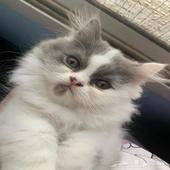قطط في جدة للبيع