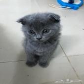 قطط سكوتش فولد و ستريت للبيع
