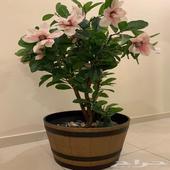 شجرة منزلية  نباتات