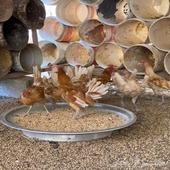 دجاج فيومي اورنج