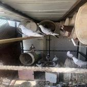 حمام زاجل وقلاب وباكستاني