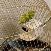 طيور الحب بصحه ممتازه