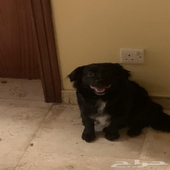 كلب شيواوا اسود للبيع