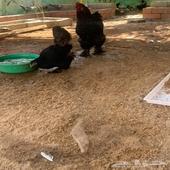 دجاج براهما بياض