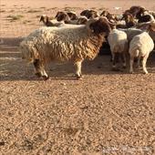 خروف نعيمي