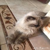 قطه شيرازي امريكي اليف ولعوب