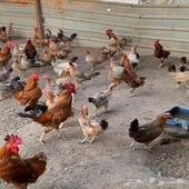 دجاج بلدي وديوك للبيع