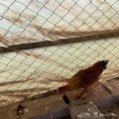 دجاج براهما العمر 5 اشهر الصحه 100في100 السوم واصل 350