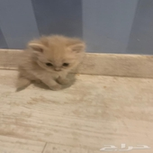 للبيع ثلاثة قطط كتين