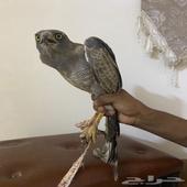 طير - طير وتساب أب قفط