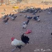 دجاج فيومي شبابي
