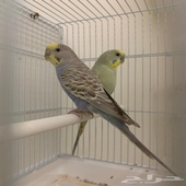 طيور بادجي هولندي