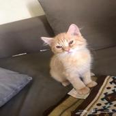 قطه انثي شيرازيه ب 350