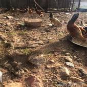 البيع دجاج بلدي