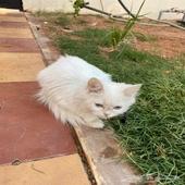 قطط شيرازي عمر شهرين اليف