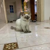 قطط شيرازية العمر 4 شهور ذكر وانثى