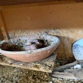 حمام روماني ( حب الرمان )