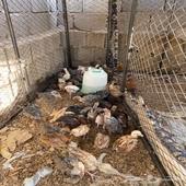 دجاج و شبك للبيع