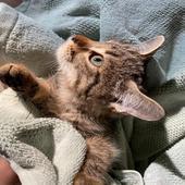 قطط صفيرة للبيع مستعجل