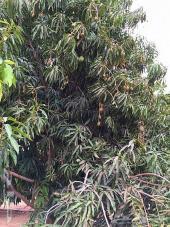 3 ثلاث مزارع منقه وليمون في ناوان