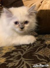 قطة كيتن للبيع