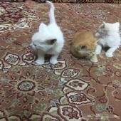 قطط شيرازيه عيون زرق العمر شهر بصحة جيدة