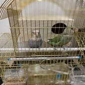 طيور روز جوز للبيع وايضا  ببغاء درة للبيع.