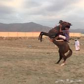 حصان شعبي عمره4سنين معسوف التواصل 0531336217