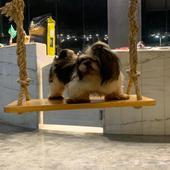 كلب شيتزو لتلقيح