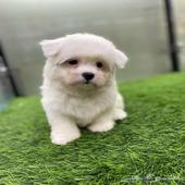 كلب شيتزو