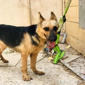 كلب جيرمين شبرد الاماني