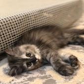 قطة شيرازيه للبيع   العمر شهرين .
