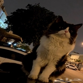 قط شيرازي للتزاوج قط شيرازي للتلقيح