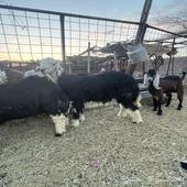 خروف سمين فل للبيع