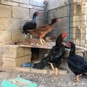 دجاج  هندي للبيع