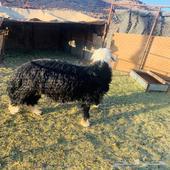خروف وتيس للبيع