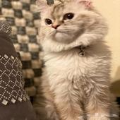 قط شيرازي العمر 7شهور تقريبا  الجنس انثى الاسم فلافي