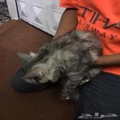 قطط للبيع النوع شيرازي
